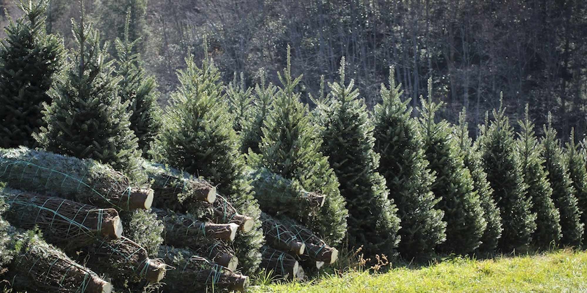 Amazon Set To Sell 7-foot Christmas Trees, More Online