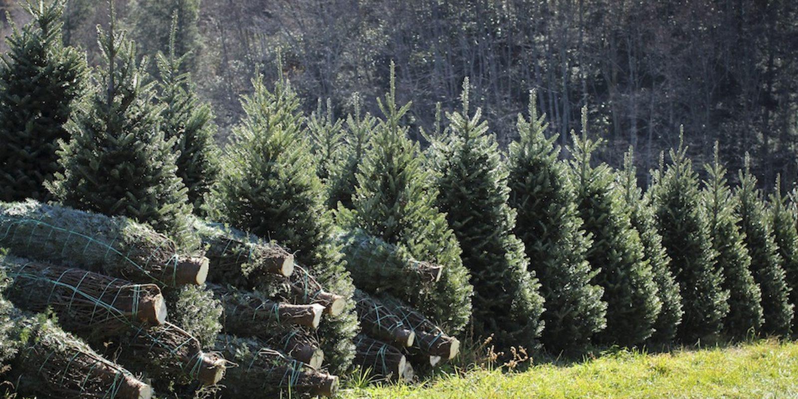 amazon set to sell 7 foot christmas trees more online this holiday season - Amazon Com Christmas Trees