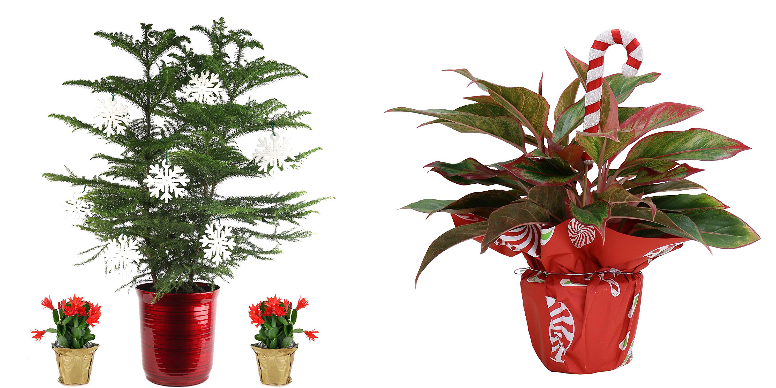 Indoor plants from $20 at Amazon today: mini Christmas tree, cactus + more from $3